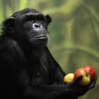 ZooDK novi simpanzi 2017 simona jirickova (2)